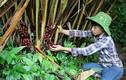 Loài cây quý ra quả đỏ, thơm dưới gốc, mỗi vụ thu cả trăm tấn