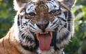 Video: Hổ cái đuổi sát xe mui trần chở khách du lịch