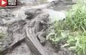 Video: Điều xảy ra khi cá sấu nhỏ dám tấn công đồng loại to lớn