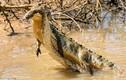 Video: Lỡ ăn thịt cá sấu con, rắn đuôi chuông bị cả nhà kẻ địch xé xác