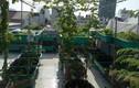 Ngắm sân thượng xanh mướt mát rau sạch của mẹ đảm Sài Gòn