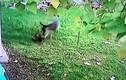 """Video: Nai """"nổi cơn thịnh nộ"""" hiếm thấy, đuổi đánh mèo đến chết"""