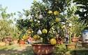 """""""Siêu"""" cây 11 loại quả ở Hà Nội: Đại gia Sài thành ra đặt mua"""