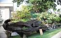 Ngắm tuyệt phẩm bonsai mai vàng gắn với nguyệt quế giá tiền tỷ