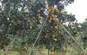 Hoa quả Tết: Vườn bưởi Diễn 2 vạn quả, ngàn người mê