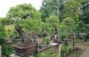 Bị trộm cây quý 400 năm tuổi và phản ứng bất ngờ của người chủ