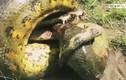 Video: Bị trăn Anaconda khổng lồ siết, cá sấu tung đòn cuối cắn chặt đầu trăn