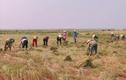 Thầy giáo và học sinh làm chuyện bất ngờ giúp học trò gặt lúa