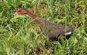 """Loài chim đã tuyệt chủng """"hồi sinh"""" sau 136.000 năm"""