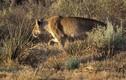 Video: Chó hoang châu Phi giả chết, đào thoát ngoạn mục khỏi nanh vuốt sư tử