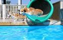 Video: Công ty TQ chơi trội, bao trọn bể bơi 1.000m2 cho chó giảm mỡ