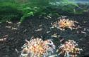 Trai phố biển nuôi tép kiểng vui chơi mà mỗi tháng lời 25-30 triệu