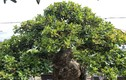 Mãn nhãn với cây ngâu bonsai cổ thụ trị giá hàng tỷ đồng