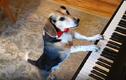 Video: Chú chó tự chơi đàn piano và 'hát' gây sốt cộng đồng mạng