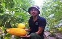 Trai xứ Thanh làm giàu từ trồng dưa vàng công nghệ cao