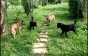 Video: 4 con chó nhà hợp lực vây hãm, triệt hạ rắn hổ mang chúa