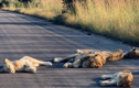 Vườn quốc gia bị phong tỏa, sư tử tràn ra đường nhựa ngủ say sưa