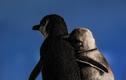 2 chú chim cánh cụt cùng cảnh 'góa bụa' vỗ về nhau bất ngờ gây bão