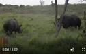 Video: Tê giác đen quyết chiến tê giác trắng và cái kết đắng