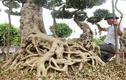 3 cây sanh 'khủng' trị giá 10 tỷ của anh nông dân