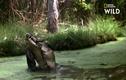 """Video: Chuột túi bị cá sấu """"khủng"""" quật nát trong tích tắc"""