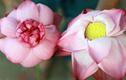 Cách phân biệt hoa sen - hoa quỳ chuẩn 100%