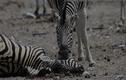 """Video:  ngựa vằn đực cố gắng lôi bạn tình dậy từ """"cõi chết"""""""