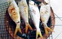 Cá cháy - loại cá quý hiếm, danh bất hư truyền ở sông Hậu