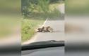 Video: Quý ông diệt trăn khủng để cứu nai rừng bên vệ đường