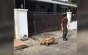 """Video: Cụ rùa Sulcata siêu to khổng lồ dạo phố cùng """"anh sen"""""""
