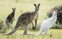 Những sự thật bất ngờ về loài động vật biểu tượng của Australia