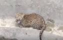 Video: Báo đốm rơi xuống giếng, dân làng chung tay giải cứu