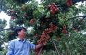 Lão nông Sán Dìu tạo quả vải thiều đắt nhất Việt Nam