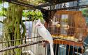 Chim 'Bạch Vương môi hồng', đại gia trả 500 triệu không bán