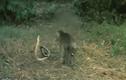 """Video: Nể phục khỉ con """"tát vỡ mặt"""" hổ mang chúa"""