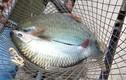 Loài cá quý hiếm trên sông Đà muốn ăn phải chờ vài năm
