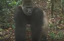 Video: Khỉ đột quý hiếm nhất thế giới xuất hiện cùng đàn con