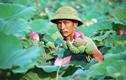 Dân bỏ làm ăn xa về làng kiếm tiền triệu nhờ 1 loài hoa