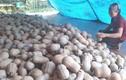 Bí ngô rớt giá thê thảm, cả tạ chỉ mua được 1kg thịt lợn