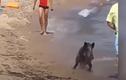 Video: Hết hồn cảnh lợn rừng rượt khách du lịch ở bãi biển Đức