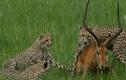 Video: Bị ba con báo săn truy sát, linh dương vẫn thoát chết