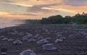 Video: Hàng trăm con rùa đẻ trứng tạo ra quang cảnh kinh ngạc