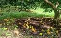 Cam rụng trắng vườn, nông dân thắt ruột bán với giá 5.000 đồng/kg