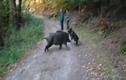 Video: Chó nhà bị lợn rừng vây, chủ nhân thích thú cười đùa