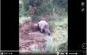 Video: Mẹ bị bắn chết, tê giác con cố lay xác mẹ để bú