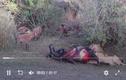 VIdeo :15 con linh cẩu 'tổng tấn công', cướp miếng mồi của sư tử