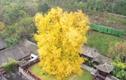 Video: Ngắm cây bạch quả 1.400 năm tuổi