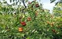 Lạ lùng giống táo lai hồ lô có giá hơn 1 triệu/kg