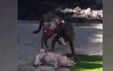 Video: Pitbull đoạt mạng chó nhà trước mặt chủ