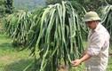 Vựa thanh long lớn nhất Nghệ An